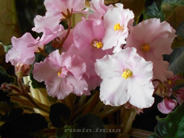 розовая фиалка фото
