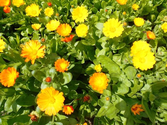 фото цветущей календулы