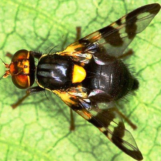 фото вишневой мухи