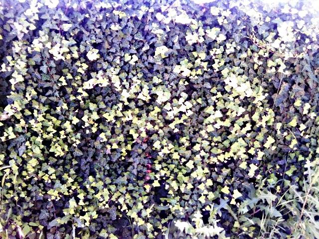 фото живой изгороди из плюща