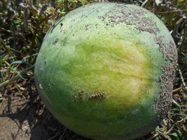 определение спелости арбуза