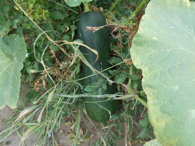 фото созревающей тыквы