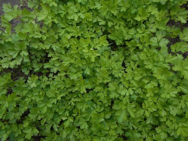 фото зелени петрушки