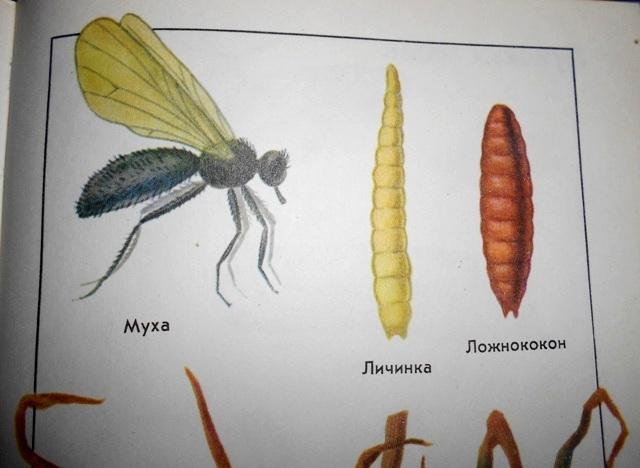 вид луковой мухи