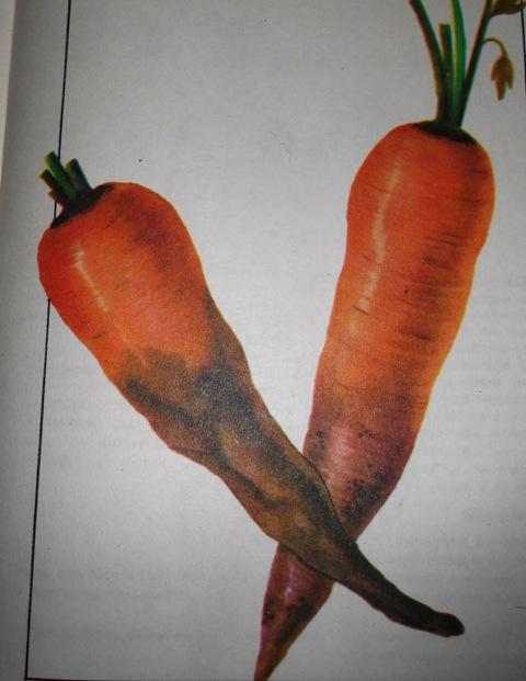 фото войлочной болезни корнеплодов