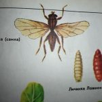 вредитель капусты муха