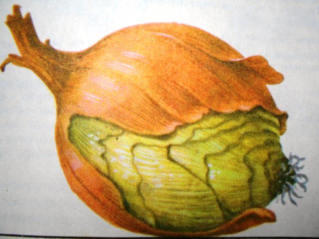 луковица, поврежеднная корневым клещом