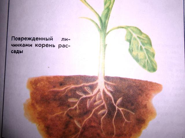 повреждение растений капустной мухой