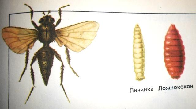 фото капустная летняя муха