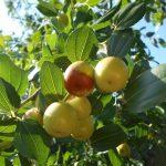 фото плодового дерева