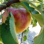 фото яблоня