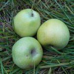 розеточность яблони