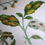 бурая пятнистость листьев томатов