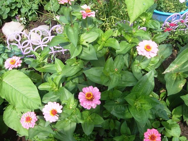 циния в саду