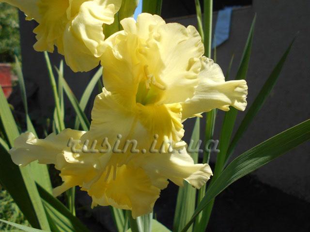 фото гладиолус желтый