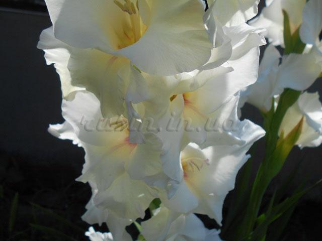 фото гладиолус белый