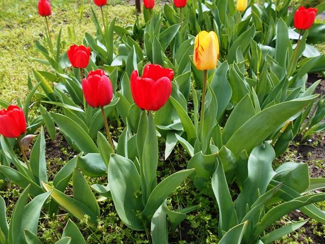 цветущие тюльпаны фото