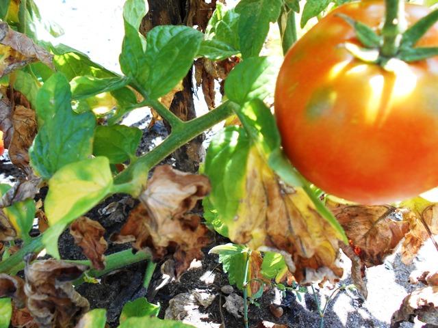 дефицит питания томата