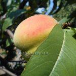 интересно о персиках