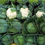 болезни капусты при хранении