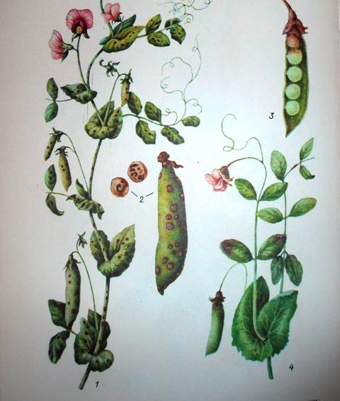аскохитоз бобовых
