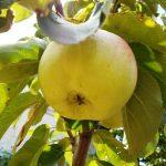 бурый плодовый клещ яблони