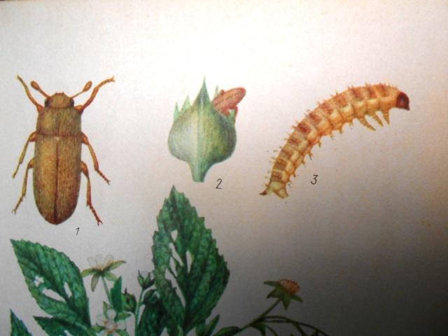 малинный жук фото