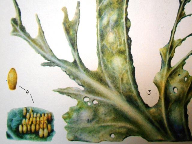 капустная белянка