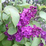 фиолетовая сирень фото