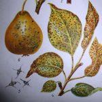 буроватость листьев груши фото