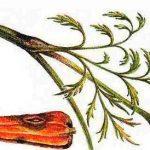 фомоз моркови фото