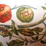 стрик томатов фото