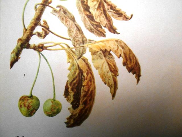 побурение листьев вишни фото