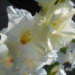 гладиолус белый фото