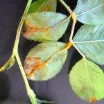 листовая ржавчина роз фото