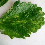 морщинистость листьев земляники фото