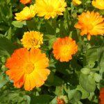 Календула, ноготки лекарственные: агротехника выращивания, полезные свойства