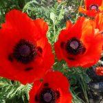 садовый мак фото