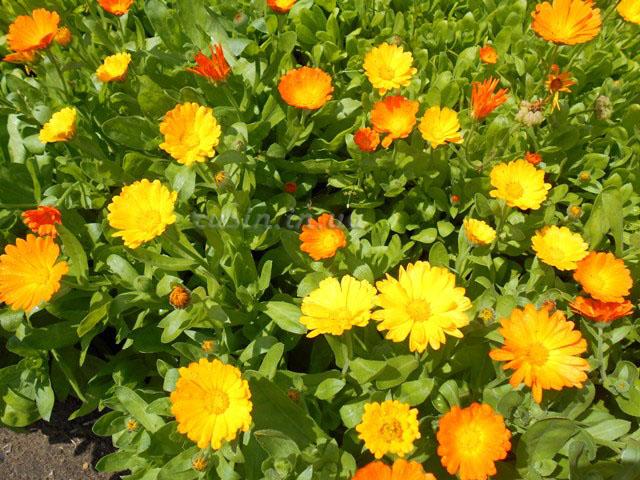 цветущая календула фото