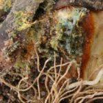 пенициллез тюльпанов фото