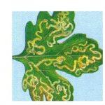 поврежденный лист разноядным минером