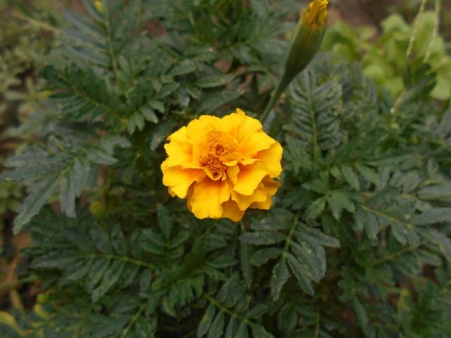 желтые бархатцы фото