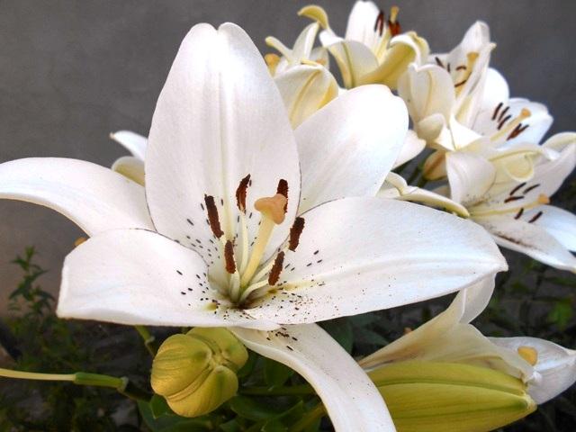 белые лилии фото