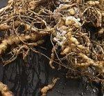 корень пораженный галловой нематодой