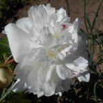 белый пион фото