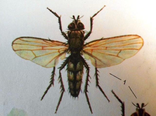капустная муха фото