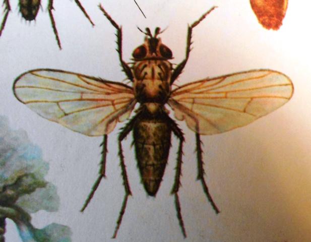 летняя капустная муха фото