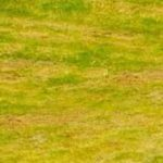 желтеет газон