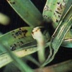ржавчина гвоздики фото