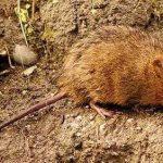 водяная крыса фото